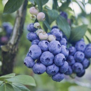 PatriotBlueberry
