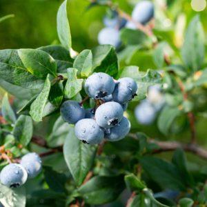 Chanticleer Highbush Organic Blueberry Plant