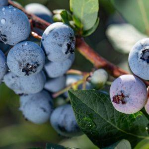 Chippewa Organic Blueberry