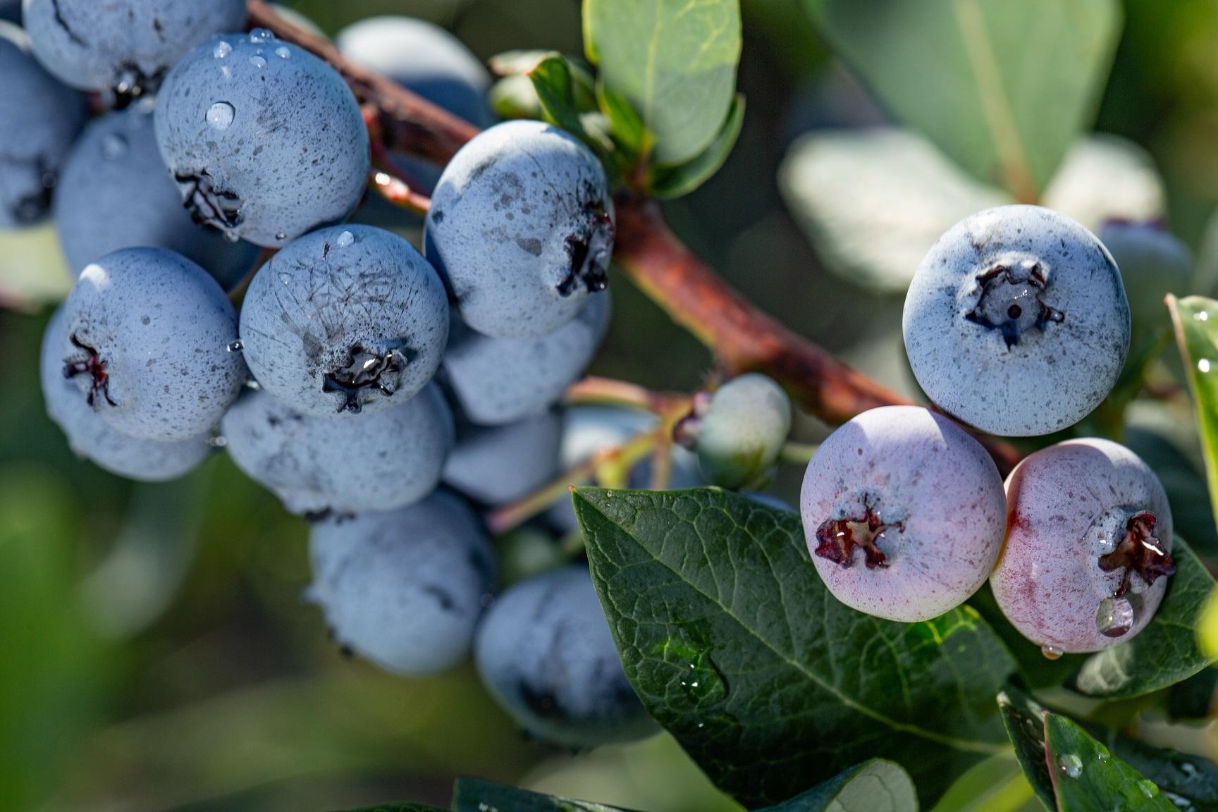 Organic Blueberry Plants North Sky and Chippewa combo ...