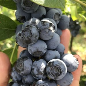HoneyCreek blueberry
