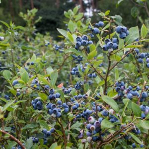 Northland Organic Blueberry