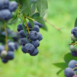 Arlen Organic Highbush Blueberry Plant