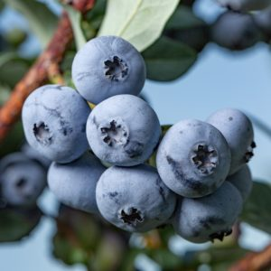 Bonus blueberry