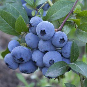 Carteret Blueberry