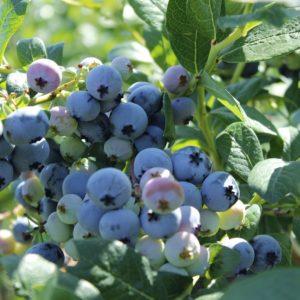 ColibriBlueberry