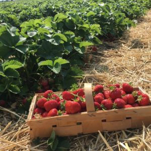 FieldStrawberryPicked1