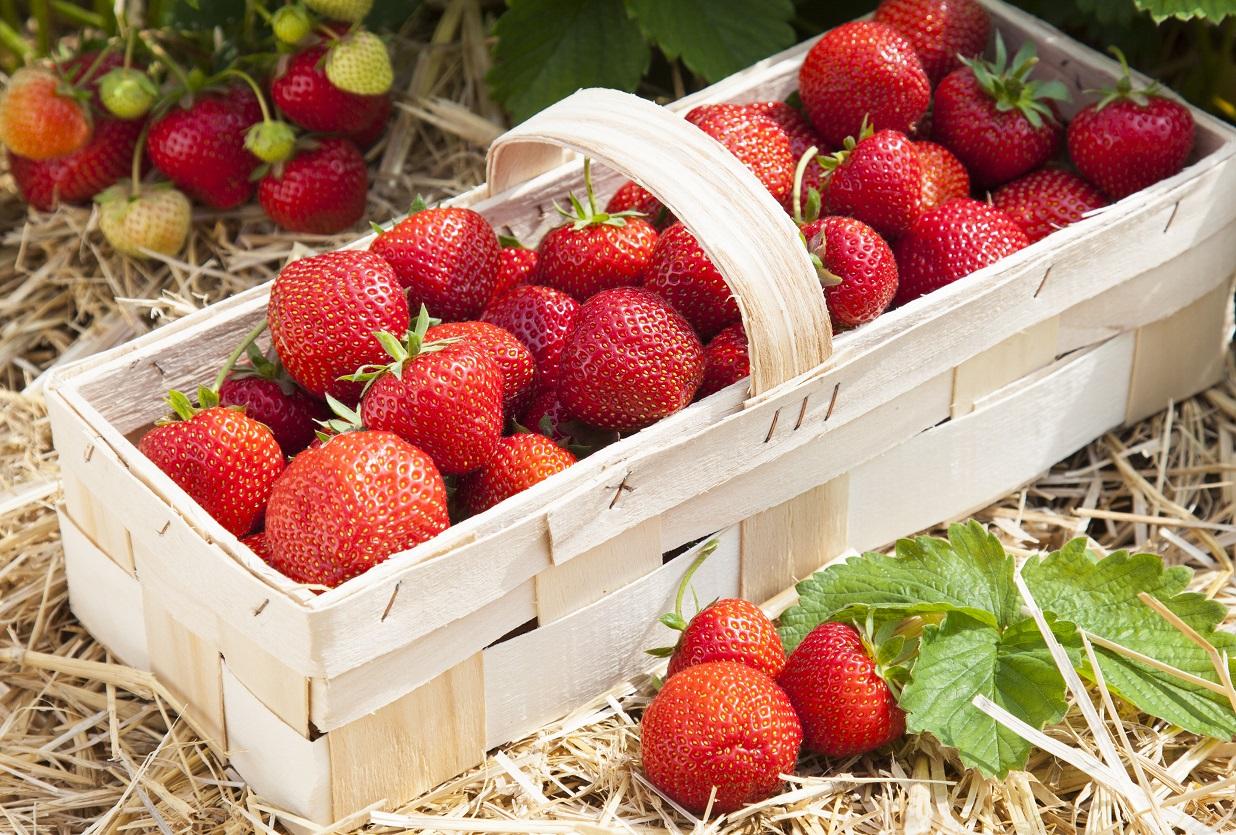 Organic Strawberry Full Season Collection June Bearing Quart Size