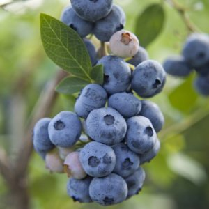 Gupton Highbush Blueberry