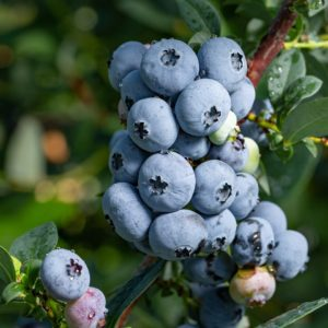 Nelson Organic Blueberry Plant