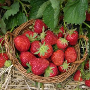Organic Strawberry Plant 4-pack