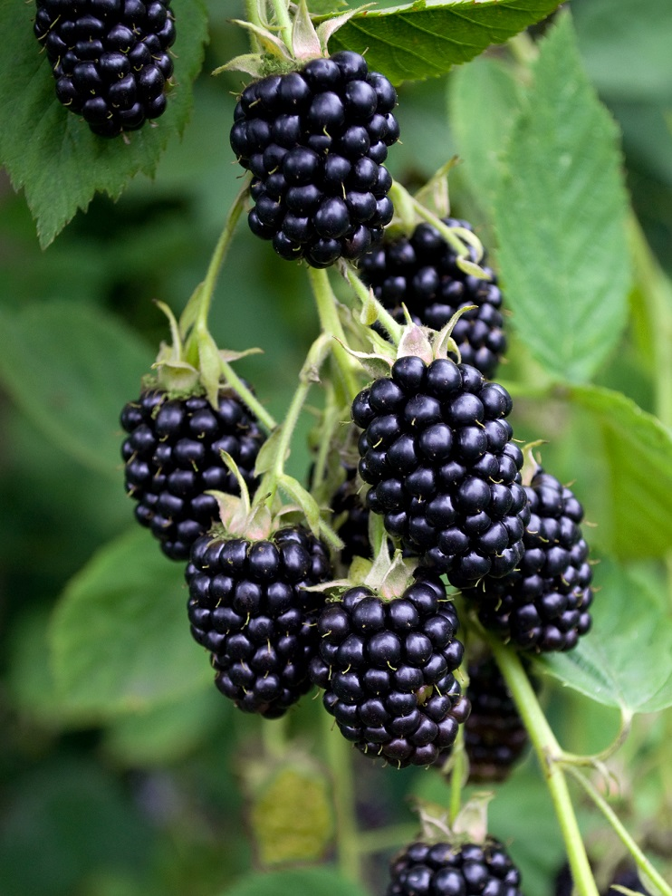 Apache Organic Blackberry Plant Backyard Berry Plants