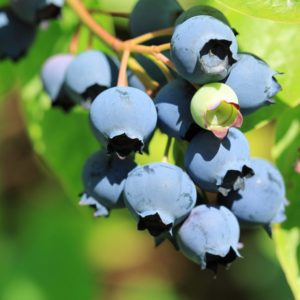 Organic Lowbush Blueberry