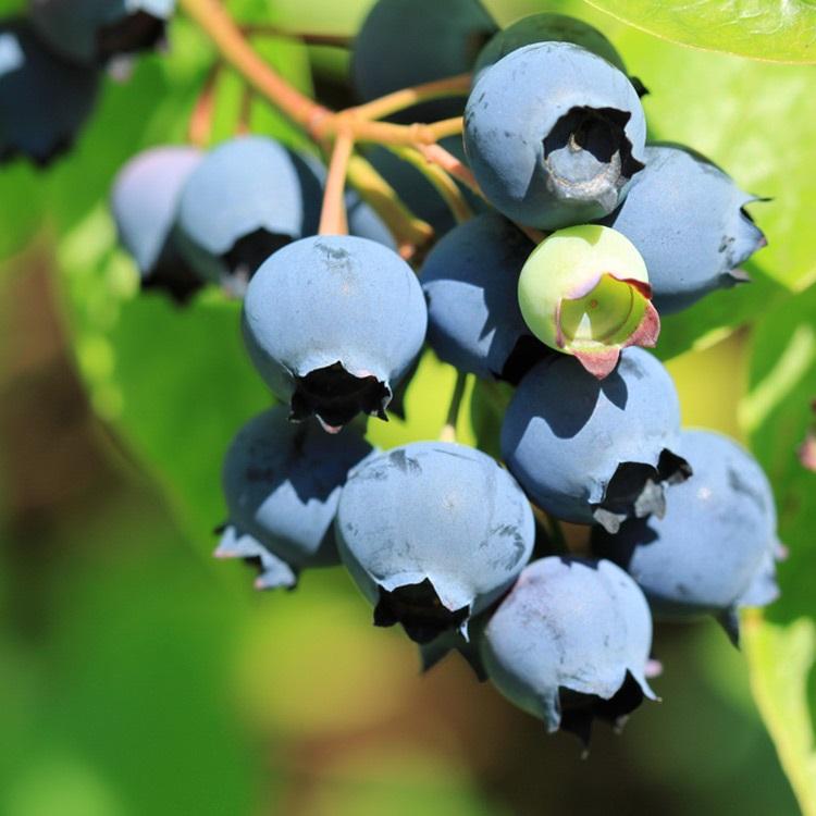 Blueberry Starter Collection 7 Organic Wild Lowbush