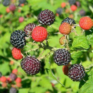 BristolRaspberry