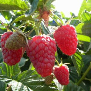 Organic Eden Red Raspberry