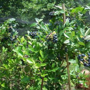Friendship blueberry