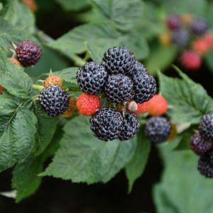 Blackhawk Black Raspberry