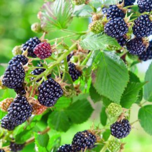 Osage Organic Blackberry