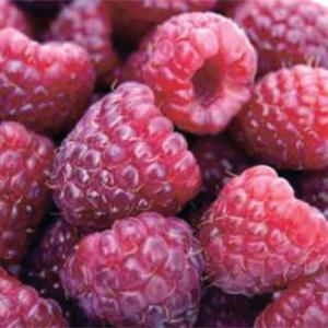 RoyaltyPurpleRaspberry