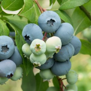 Stanley Organic Heirloom Blueberry