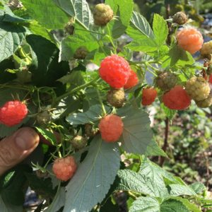 SunsetRaspberry