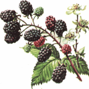 blackberrypicture1