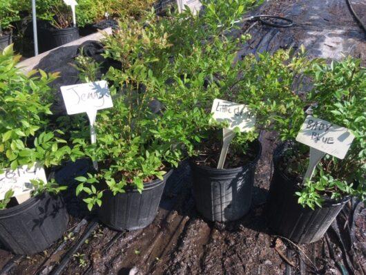 Potted lowbush blueberries