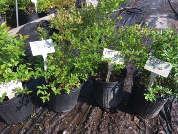 Potted lowbush blueberries