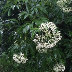 ElderberryFlowers1
