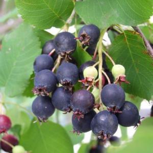 Amelanchier-alnifolia-serviceberry-fruit-June