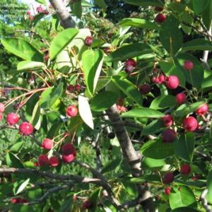 Amelanchier-laevis-serviceberry-fruiting-June