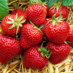 Albion Strawberries